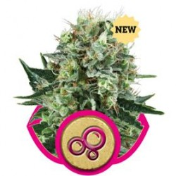 BUBBLE KUSH * ROYAL QUEEN SEEDS   3 SEMI FEM