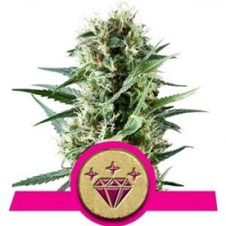 SPECIAL KUSH #1 * ROYAL QUEEN SEEDS 5 SEMI FEM
