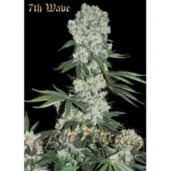 7th WAVE  * SUPER STRAINS  SEEDS FEMINIZED  10 SEMI