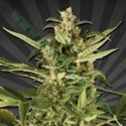 JUICY LUCY (EX AUTO POUNDER WITH CHEESE)* AUTO SEEDS 3 SEMI FEM