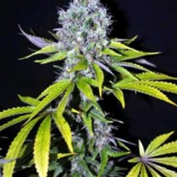 YUMMY * CBD- CREW SEEDS 5 SEMI FEM