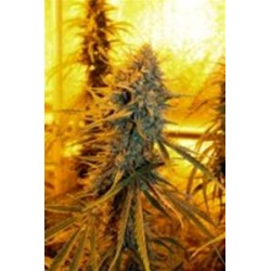 SOUR AMNESIA *HORTILAB SEEDS  5 SEMI REG