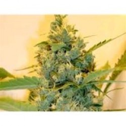 SUPER SOUR SKUNK *HORTILAB SEEDS 10 SEMI REG
