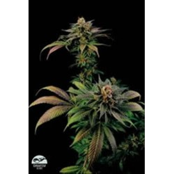 BLUE WIDOW * DINAFEM SEEDS 1 SEME FEM