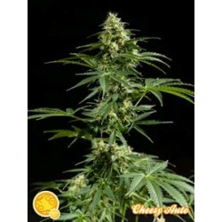 CHEESY AUTO*AUTO  LINE  PHILOSOPHER SEEDS  25 SEMI FEM