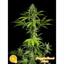 FRAGGLE SKUNK AUTO *AUTO LINE  PHILOSOPHER SEEDS  25 SEMI FEM