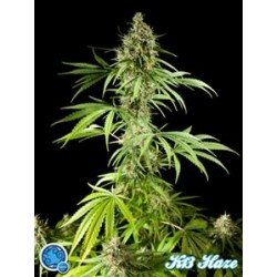 EASY HAZE ( EX K 13 HAZE) *CLASSIC LINE  PHILOSOPHER SEEDS   5 SEMI FEM