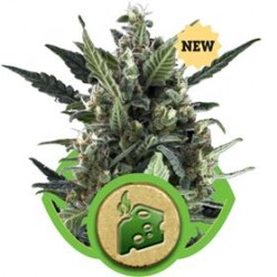 BLUE CHEESE AUTO * ROYAL QUEEN SEEDS   3 SEMI FEM
