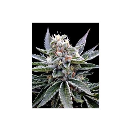 FLORIDA GOLD* DNA GROW YOUR OWN  3 SEMI FEM