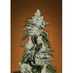 GIRL SCOUT COOKIES * FAST BUDS SEEDS  1 SEME FEM