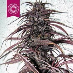 OLD CONGO * TROPICAL SEEDS  5 SEMI REG