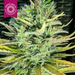 CISKEI * TROPICAL SEEDS  5 SEMI REG