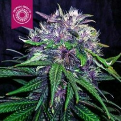 RED AFRO * TROPICAL SEEDS  5 SEMI FEM