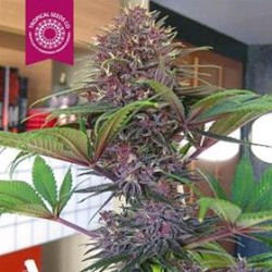 BISHO PURPLE  * TROPICAL SEEDS 10 SEMI FEM