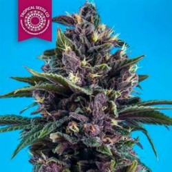 KUSHMATIC AUTO * TROPICAL SEEDS 10 SEMI REG