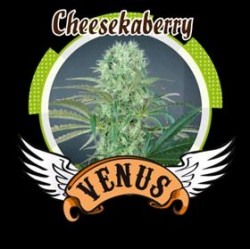 CHEESE KABERRY * VENUS GENETICS  3 SEMI FEM