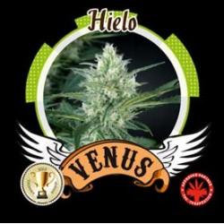 HIELO* VENUS GENETICS  1 SEME FEM