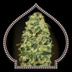 AUTO CALIFORINIA  KUSH * 00SEEDS  5 SEMI FEM