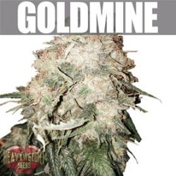 GOLD MINE  * HEAVYWEIGHT SEEDS  10 SEMI FEM