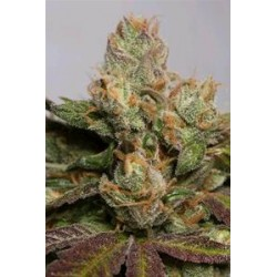 707 TRUTHBAND BY EMERALD MOUNTAIN *HUMBOLDT SEEDS 3 SEMI FEM