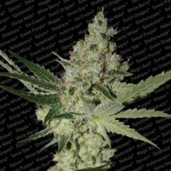 ACID * PARADISE SEEDS FEMINIZED   5 SEMI