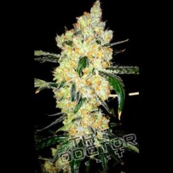 CHEESE SPECIAL * THE DOCTOR SEEDS  3 SEMI FEM