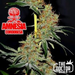 AMNESIA CORDOBESA * THE DOCTOR SEEDS 25 SEMI FEM