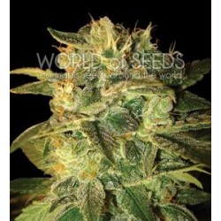 SUGAR MANGO RYDER AUTO * WORLD OF SEEDS   3 SEMI FEM