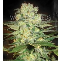 AFGHAN KUSH X WHITE WIDOW * WORLD OF SEEDS   3 SEMI FEM
