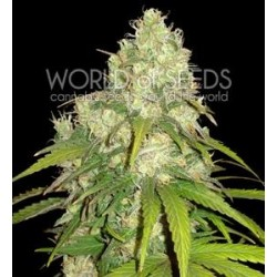 AFGHAN KUSH X YUMBOLT * WORLD OF SEEDS   3 SEMI FEM