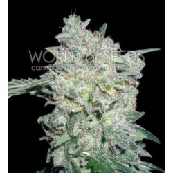 AFGHAN KUSH SPECIAL * WORLD OF SEEDS   3 SEMI FEM