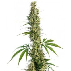 EAGLE BILL ® * SENSI SEEDS 10 SEMI REG