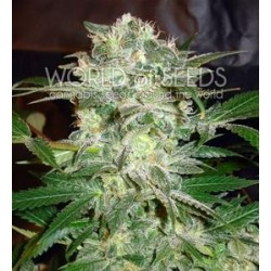 MAZAR KUSH * WORLD OF SEEDS   3 SEMI FEM