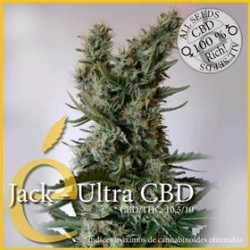 JACK ULTRA CBD  * ELITE SEEDS 3 SEMI FEM