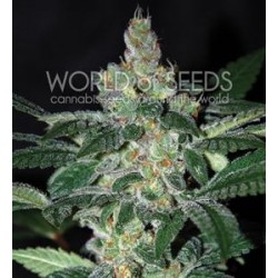 AMNESIA * WORLD OF SEEDS   3 SEMI FEM