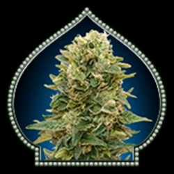 AUTO AFGHAN MASS * 00SEEDS 50 SEMI FEM
