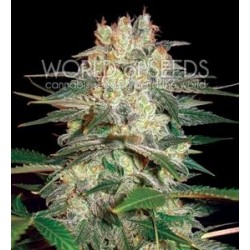 AFGHAN KUSH RYDER AUTO * WORLD OF SEEDS 12 SEMI FEM
