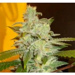 NORTHERN LIGHT * EXPERT SEEDS 25 SEMI FEM
