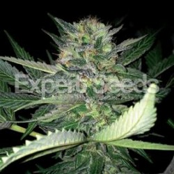 CRITICAL LIGHTS * EXPERT SEEDS 25 SEMI FEM