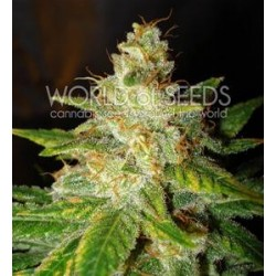NEW YORK SPECIAL * WORLD OF SEEDS 12 SEMI FEM