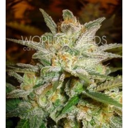 STAR 47 * WORLD OF SEEDS 12 SEMI FEM