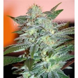 YUMBOLT 47 * WORLD OF SEEDS   7 SEMI FEM