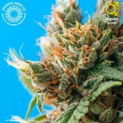 DURBAN PUNCH  * TROPICAL SEEDS  5 SEMI REG
