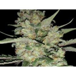 CRITICAL * EXCLUSIVE SEEDS   5 SEMI FEM