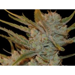 OXUS   * EXCLUSIVE SEEDS   5 SEMI FEM