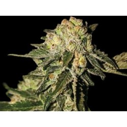 SUPER MANDARINA * EXCLUSIVE SEEDS   5 SEMI FEM
