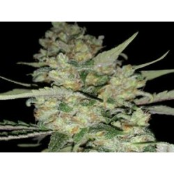 AUTO CRITICAL * EXCLUSIVE SEEDS   5 SEMI FEM