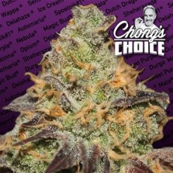 BLUE KUSH BERRY  * PARADISE SEEDS FEMINIZED   3 SEMI