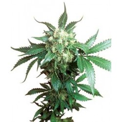 BLACK DOMINA® * SENSI SEEDS  3 SEMI FEM