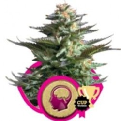 AMNESIA HAZE * ROYAL QUEEN SEEDS   1 SEME FEM